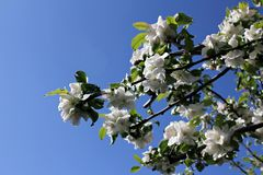 Blooming trees. Spring flowers. Blooming trees in the park, blue sky.  Closeup view Royalty Free Stock Photography
