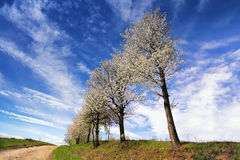 Blooming trees in spring. Orchard and the road. Royalty Free Stock Images