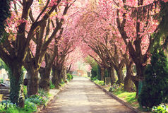 Blooming trees in spring. Road with blooming trees in spring Royalty Free Stock Images