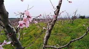 Blooming trees. Spring seasonal forest Royalty Free Stock Image