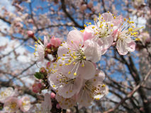 Blooming trees. At the spring at sunny day Royalty Free Stock Image