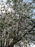 A blooming tree in white, spring royalty free stock photo