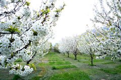 Blooming trees with white blossom in the spring Stock Photos
