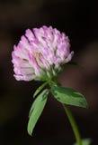Blooming trefoil. Macro of red clover or trefoil Trifolium pratense flower head at summer Stock Photography