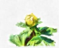 Blooming Trollius europaeus Royalty Free Stock Image