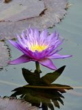 Blooming tropical purple and yellow water lily reflecting in the water Royalty Free Stock Images