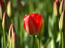 Blooming tulip. Field of blooming tulips Stock Image