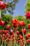 Blooming tulip Stock Photography