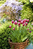 Blooming Tulip Basket. Tulips displayed in a wicker basket in a garden Royalty Free Stock Photo