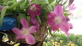 Blooming tulip in bicycle rack Royalty Free Stock Image