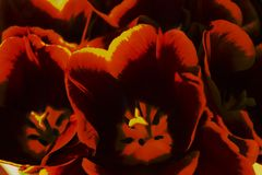 Blooming Tulip buds in the spring of red yellow and black cl stock photos