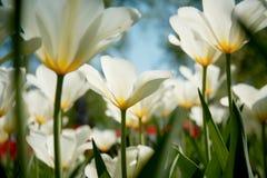Blooming tulip closeup Stock Photography