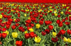 Blooming tulip field Royalty Free Stock Photos