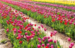 Blooming tulip field in Netherlands, rows of pink and yellow flowers. Agriculture concept design. Spring landscape royalty free stock photos