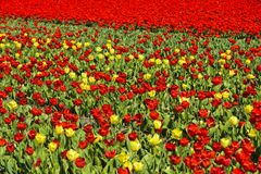 Blooming tulip field Stock Photography