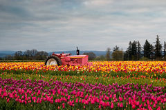 Blooming Tulip Field Stock Photo