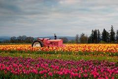 Blooming Tulip Field Stock Photo