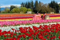 Blooming Tulip Field. Woodburn, Oregon, Wooden Shoe Tulip Festival. Blooming field of multicolored tulips with a tractor in it stock photo