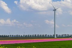Blooming tulip fields in Holland stock photo