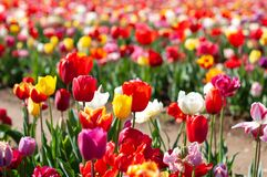 Blooming tulip fields in Netherlands, flower with blurrred colorful tulips as background. Selective focus,tulip close up stock photography