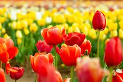 Blooming tulip fields in Netherlands, flower with blurrred colorful tulips as background. Selective focus,tulip close up stock image