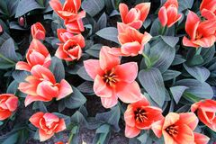 Blooming tulip flower background. The image of the full blooming tulip flower in the garden at spring time Stock Photography