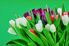Blooming tulip flowers. Close up of blooming, colorful tulip flowers isolated on green background Royalty Free Stock Photo