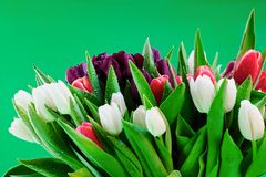 Blooming tulip flowers. Close up of colorful blooming tulip flowers, green background Royalty Free Stock Photography