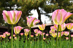 Blooming tulip Stock Image
