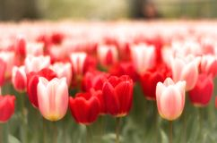 Blooming Tulip in Holland Amsterdam Royalty Free Stock Images