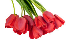 Blooming tulip Royalty Free Stock Images