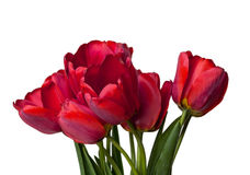 Blooming tulip Royalty Free Stock Photo