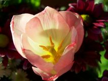 Blooming tulip Stock Photos