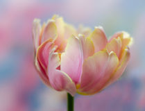 Blooming Tulip. Spring blooming pink parrot tulip Royalty Free Stock Photos