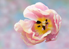 Blooming Tulip. Spring blooming pink parrot tulip Royalty Free Stock Photography