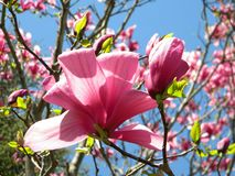 Blooming Tulip Tree Royalty Free Stock Images