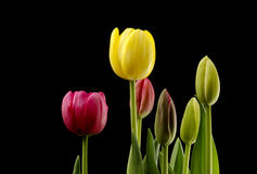 Blooming Tulips. Tulips at different stages of blooming with a black background Stock Photos