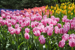 Blooming tulips Royalty Free Stock Images
