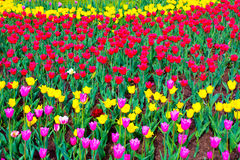 Blooming tulips background Stock Photography
