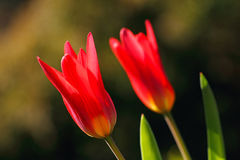 Blooming tulips. Stock Photos