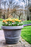 Blooming tulips in big flower pot Stock Image