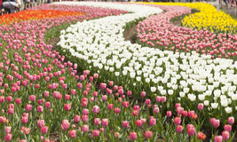 Blooming tulips Stock Photos