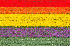 Blooming tulips on a field, arranged in lines Royalty Free Stock Photography