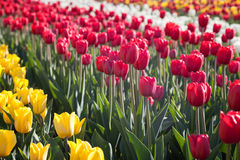 Blooming tulips Stock Images
