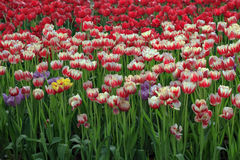Blooming tulips field in spring Stock Images