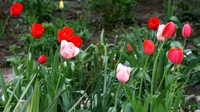 Blooming tulips in flower bed in spring. Blooming tulips in flower bed in the spring stock video