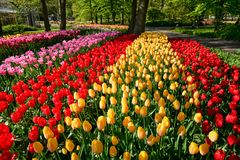 Blooming tulips flowerbed in Keukenhof flower garden, Netherland. Blooming tulips flowerbed in Keukenhof flower garden, also known as the Garden of Europe, one stock photography