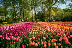Blooming tulips flowerbed in Keukenhof flower garden, Netherland. Blooming tulips flowerbed in Keukenhof flower garden, also known as the Garden of Europe, one stock image