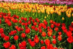 Blooming tulips flowerbed in Keukenhof flower garden, Netherland. Blooming tulips flowerbed in Keukenhof flower garden, also known as the Garden of Europe, one Royalty Free Stock Image