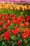 Blooming tulips flowerbed in Keukenhof flower garden, Netherland. Blooming tulips flowerbed in Keukenhof flower garden, also known as the Garden of Europe, one Stock Photography